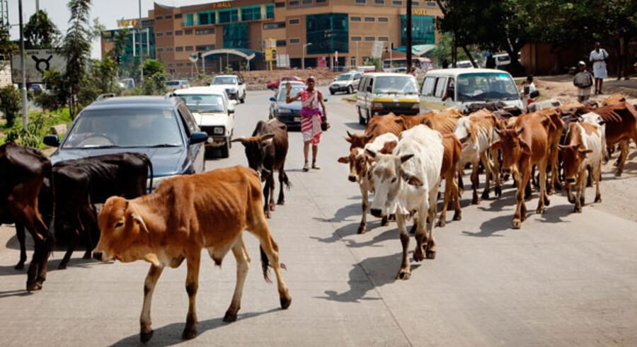 Der kan være langt til det bedste græs i storbyen Nairobi. Nogen gange kræver det, at masaierne flytter sin flok køer over nogle af de mest trafikerede veje i byen.