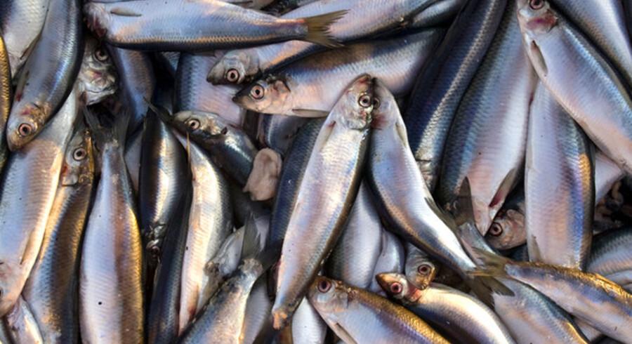 Det menes, at fedtsyrerne i fede fisk som disse sild er særligt gavnlige for os.