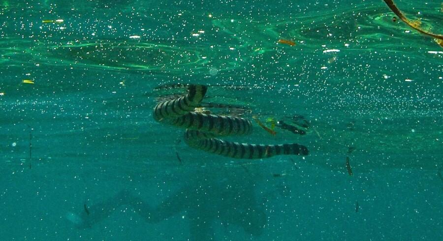 Den Blå Planet planlægger at vise havslanger fra næste år, så danskere kan se de fascinerende rolige og ekstremt giftige slanger, der er søgt tilbage og har tilpasset sig livet i vandet. Forskningschef Peter Gravlund og kurator Lars Schou er efter ekspeditionen til Ny Guinea godt rustede til at give havslangerne gode vilkår.