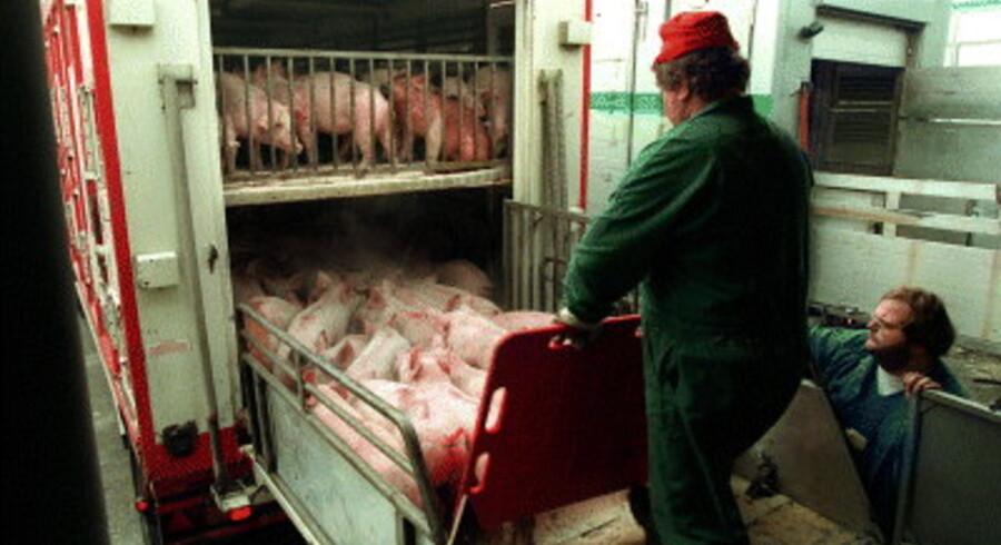 Der er flere penge og mindre besvær i at opdrætte smågrise og søer end i slagtemodne svin, og det mærker de danske slagterier allerede tydeligt. Arkivfoto: Palle Hedemann