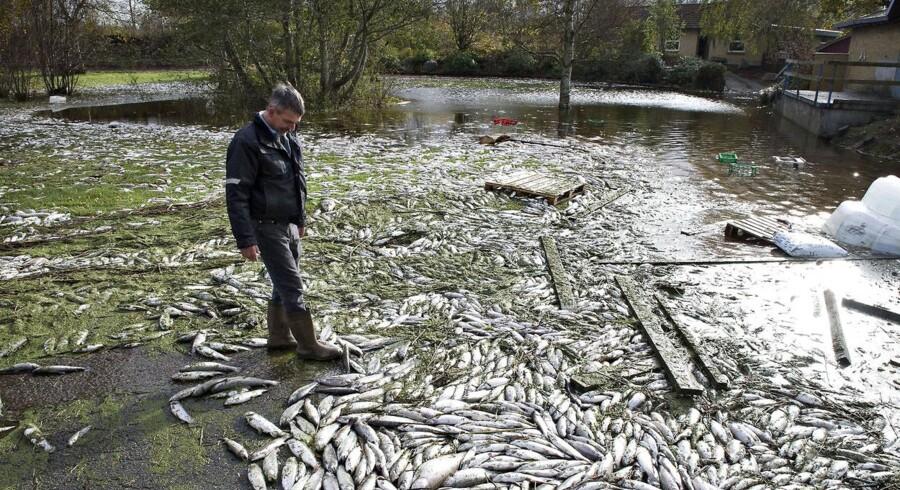 ARKIVFOTO. Store regnmængder ved Mosbjerg fik Uggerby Å til at gå over sine bredder. Det har medført at Mosbjerg Dambrug er blevet oversvømmet og forvandlet til en sø. Efter vandet hen over week-enden er faldet lidt er arbejdet med at rydde de døde ørreder væk gået igang. Her er det mandag middag hvor de første af anslået 200 tons fisk til en værdi af seks millioner kroner fjernes.