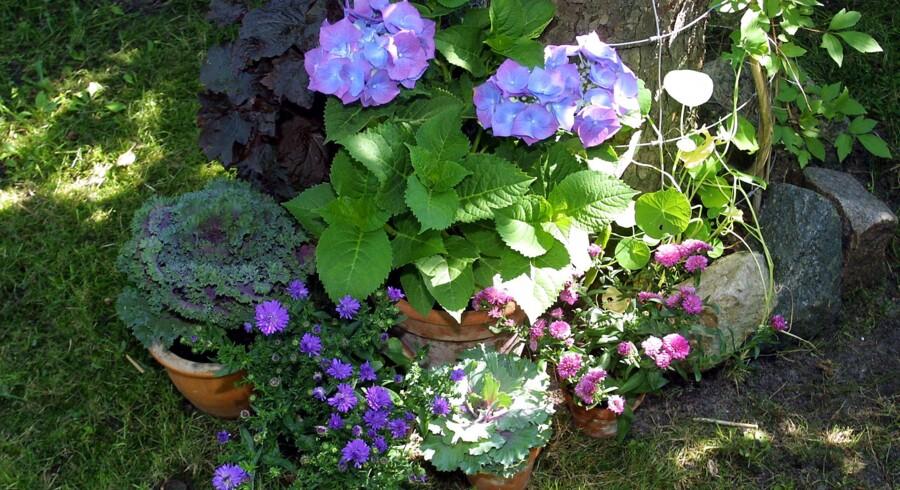 De færreste krukker med planter kan klare sig i flere dage uden vand, mens du holder ferie. Foto: Jan Jørgensen/Ritzau Scanpix