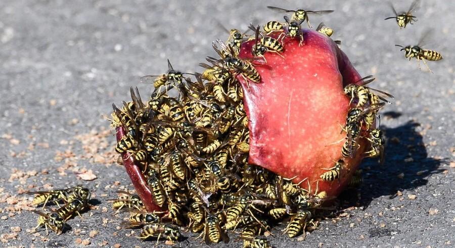 Sommeren 2018 har været hvepsenes sommer. Flere tusinde gange er skadedyrsbekæmpere blevet kaldt ud for at fjerne hvepsebo. Hvepse er egentlig rovdyr, men de går ikke af vejen for at skaffe energi gennem bl.a. frugtkød. Ikke mindst gæret frugtkød.