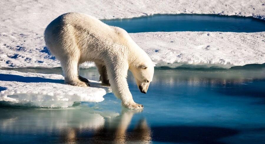 Isbjørnen tjekker om isen holder, men Ishavet vil smelte, hvis ikke den globale opvarmen holdes nede på 1,5 grader. Ifølge Peter Nedergaard er klimapolitikken et eksempel på, at liberalismen ikke kan stå alene.