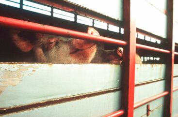 (ARKIVFOTO) (Foto: EUROGROUP FOR ANIMAL WELFARE/SCANPIX NORDFOTO 2001).