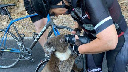 En tørstig koala fik sig en højst usædvanlig tår vand af cyklister ved Adelaide.