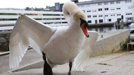 En hidsig svane fra Os i Norge, blandt lokale kendt som »Havnechefen«, er blevet centrum for en heftig debat i det norske.